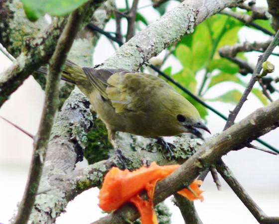 Foto palm tanager